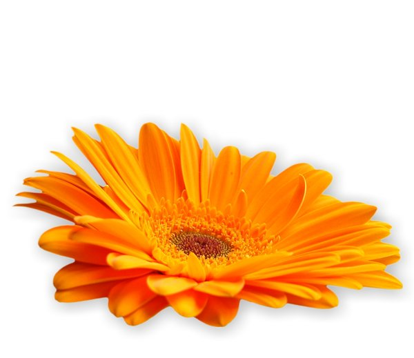 Gerbera Daisy Orange 1: Cut out gerbera on a plain background. Pretty ...