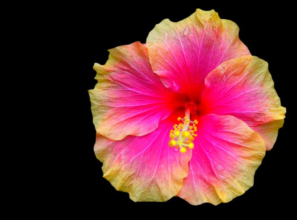 Hibiscus Bi-colour on Black: Pink and yellow hibiscus isolated on a black background. Quite beautiful. You may prefer:  http://www.rgbstock.com/photo/2dyVgUP/Frangipani+or+Plumeria  or:  http://www.rgbstock.com/photo/mTnxYso/Red+Hibiscus