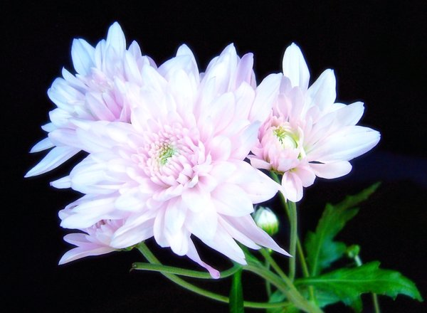Pink Chrysanthemums: Beautiful pink chrysanthemums against a black background.