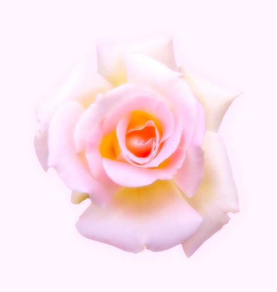 Rose: A colourful, soft rose.
