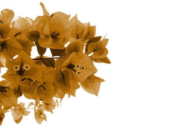 Sepia Flowers: Sepia flowers against a white background, with lots of copyspace.