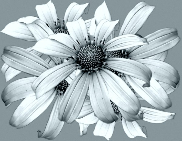 Flowers 1: Mexican sunflowers in duotone. You may prefer: http://www.rgbstock.com/photo/2dyXlMV/Stained+Glass+Flowers  or:  http://www.rgbstock.com/photo/2dyWfaa/Floral+Border