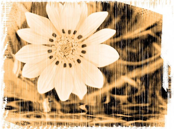 Grunge Daisy: A grungy image of a flower.
