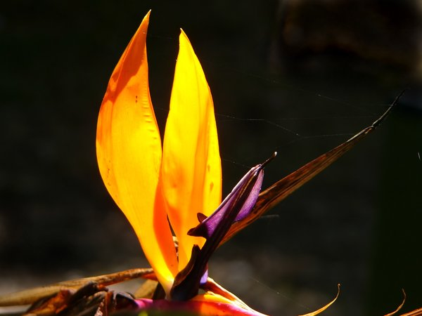Bird of Paradise - Strelitzia: Flower of the strelitzia or
