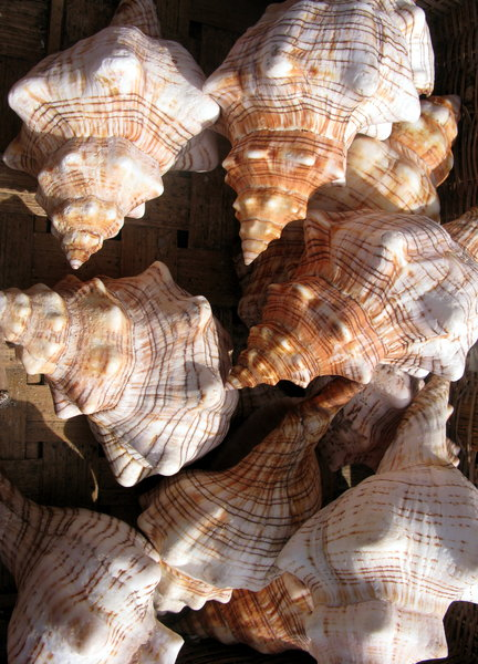 Sea shells 5: A variety of sea shells from Finisterrae, Coruña, Galicia, Spain, EU
