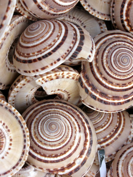 Sea shells 1: A variety of sea shells from Finisterrae, Coru�a, Galicia, Spain, EU