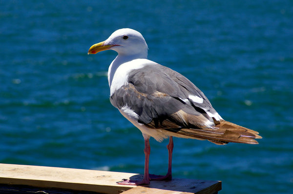 Seagull posing: A seagull posing for me on the pier at Seal Beach, California.