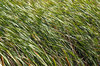 Reeds in the wind