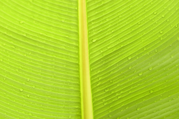 Banana leaf: Green banana leaf macro