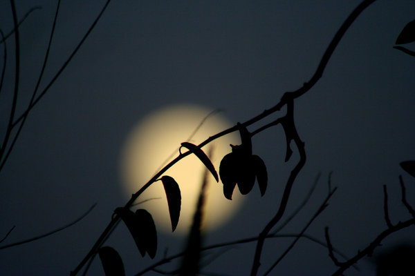 Full Moon: Branch in front of the full moon.