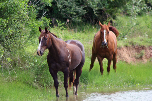 Horses: Two horses walking along the bank of the bayou in Texas.