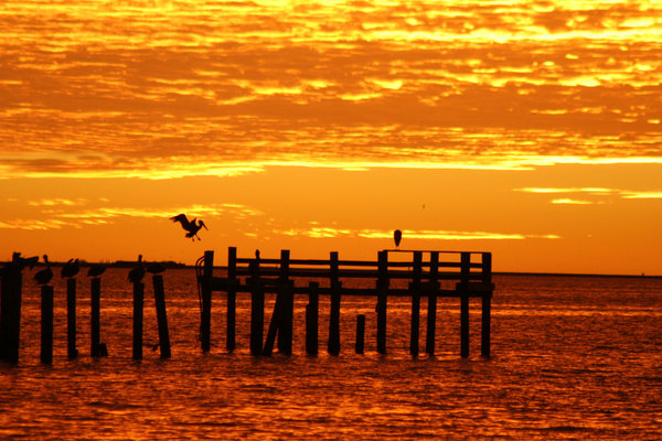 Pelican in Red Sunrise: Just prior to sunrise this is a brown winged pelican on Galveston Bay Texas