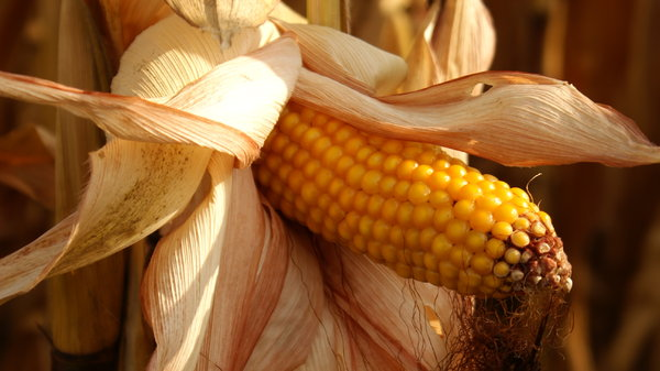 Ear of corn: Ear of corn. Format 16:9.
