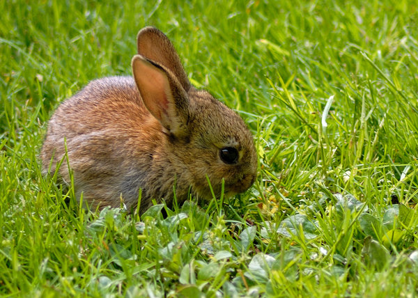 Baby rabbit 2: A baby rabbit in my garden in Suffolk England