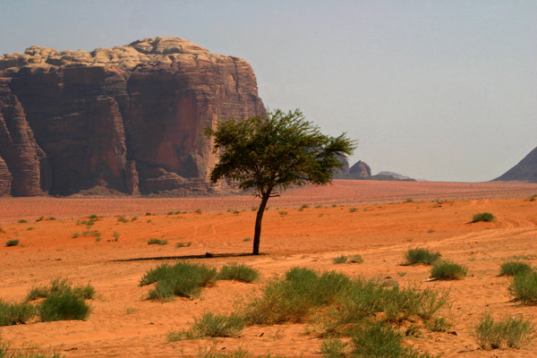 Trees in the desert: Tree in the desert of wadi rum (Jordan)