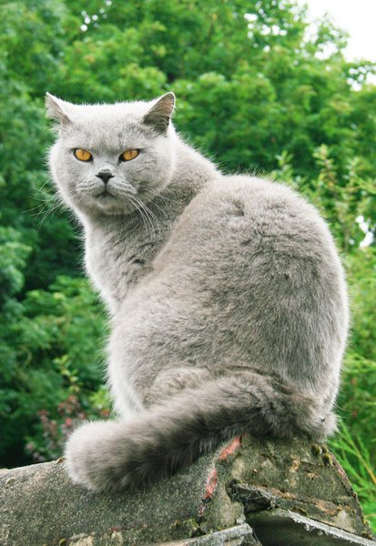 Biffi - British Shorthair 1: Caught him on our garage roof - think he had an idea of chasing a magpie - but as usual they are too fast!