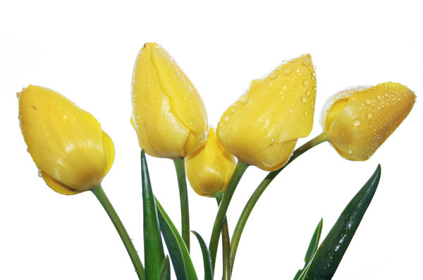 yellow tulips 2: yellow tulips