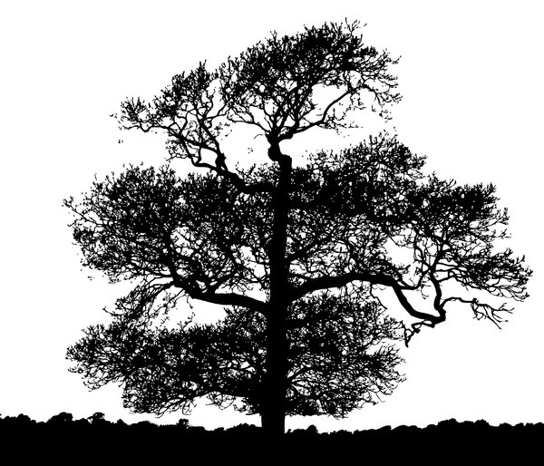 Chestnut Silhouette: Chestnut tree silhouette.  Vectorised photograph.