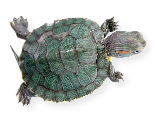 My niece's turtle: No description