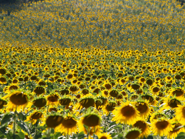Sunflower Field: Field of Sunflowers stretching uphill close to Lake Iznik in Turkey
