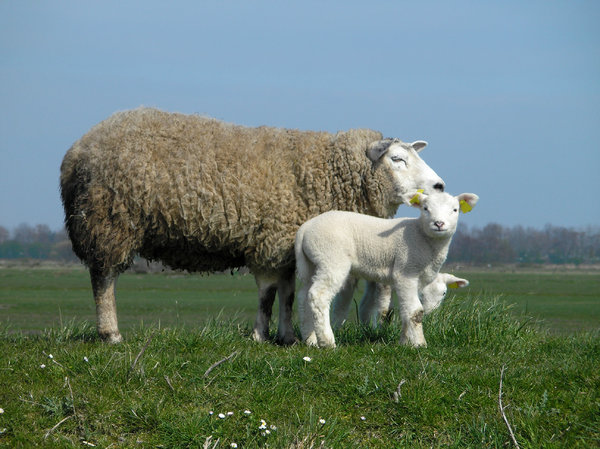 Sheep: dutch sheep