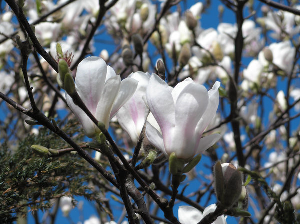 magnolia: Magnolia tree in my garden, spring is starting in holland
