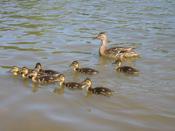 Mother duck and family: Mother duck and family