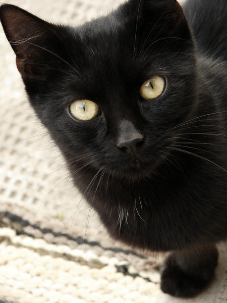 pisica neagra 1: black cat