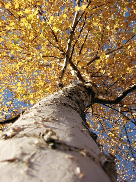 autumn perspective: white birch
