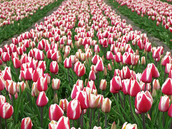 Dutch Tulip Season: Dutch Tulip Season