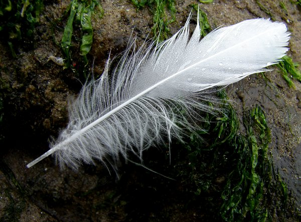 feather on the beach: seagull feather