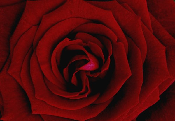 red rose: No description