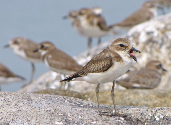 Tweet: A Kentish Plover tweets