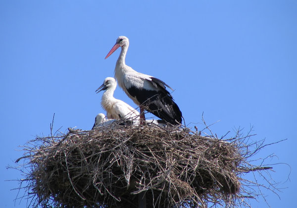 stork 2: stork nest in a Romanian village