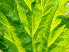 Rhubarb leaf