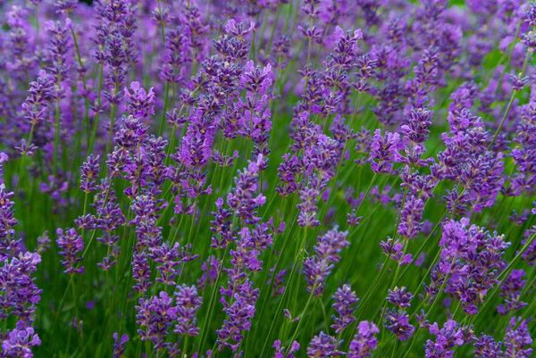 Lavender: Lavender in the garden, summer 2008