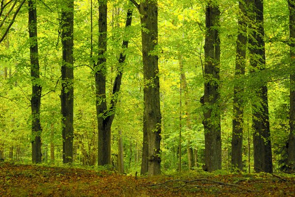 Beech wood in autumn: No description