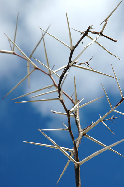 Acacia: The Acacia thorn tree.NB: Credit to read