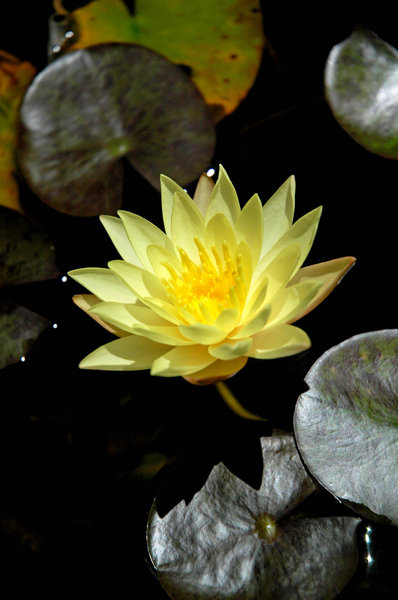 lotus 1: Lotus flowers in a pond.NB: Credit to read