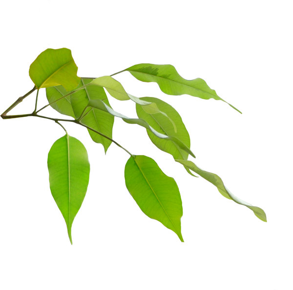 Ficus leaves: Ficus leaves