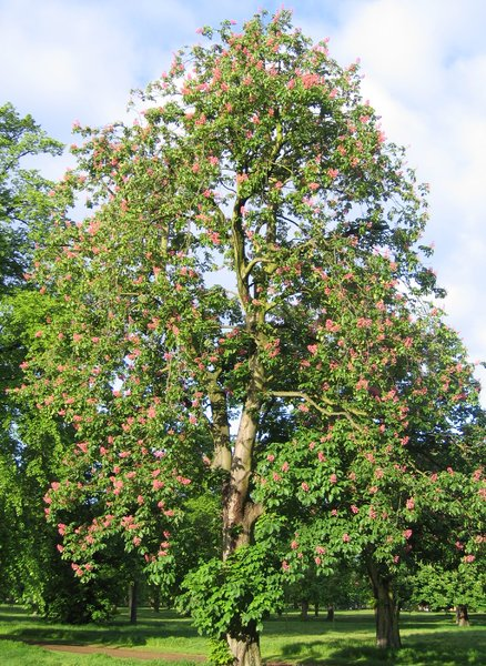 Red chestnut tree free stock photos rgbstock free for Arboles de jardin para sombra