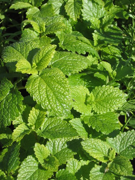 melissa plants - lemon balm: Melissa is traditional herbal medicine used to combat sleep problems and help improve immunity to viral infections.