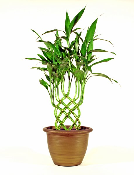 Potted Plant: Bamboo shoots grown in a pot and trained to make a weave,