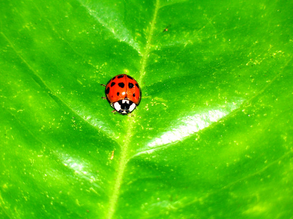 Little Lady Bug: This little creature was hanging out on my orange tree