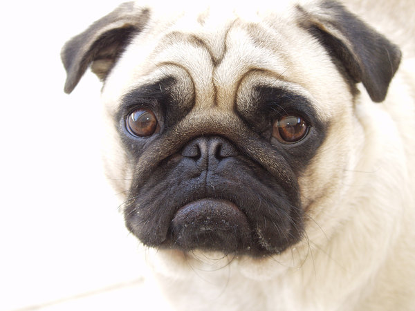 Pug - Indy B: Indy's Face, a look of ???Indy loves comments :)