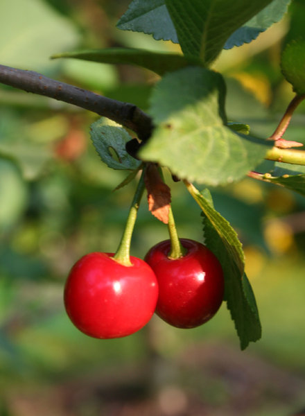 cherries: on a tree