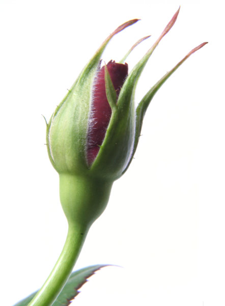 rose bud: just a simple rose