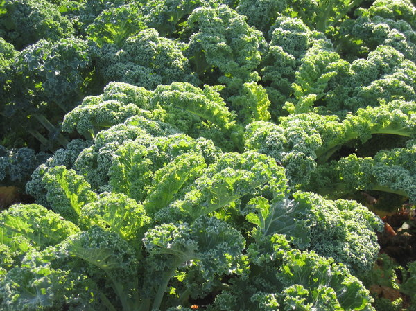organic curly kale - green cab: organic curly kale - green cabbage