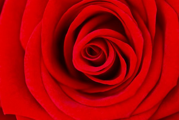 Love is red 2: Beautiful soft roses close-up