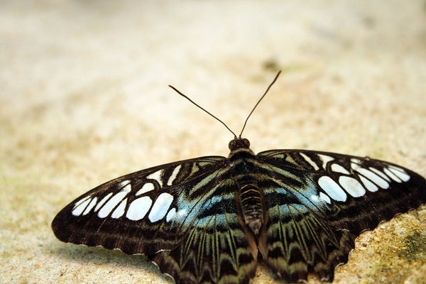 Single Butterfly: Butterfly spreading its wings on the ground. Earthy tones.